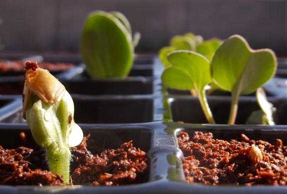 Seedlings, March 2013